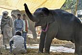 India, Bihar, Patna region, Sonepur livestock fair, Baby elephant.