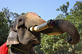 India, Bihar, Patna region, Sonepur livestock fair, The elephant bazar.