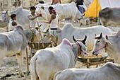 India, Bihar, Patna region, Sonepur livestock fair, Cattle market.