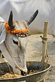 India, Bihar, Patna region, Sonepur livestock fair, Cattle market,.