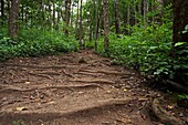 Hiking trail through tropic forests in Maui.