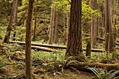 Hiking trail through temperate rainforests explore old growth trees and new growth.