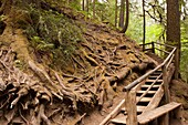 Wooden stairs bend and climb around a massive tree root system.