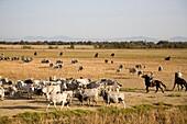europe, italy, tuscany, alberese, uccellina park, ranch alberese, cowboys and cows.