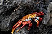 Sally Lightfoot Crab, Grapsus grapsus, Las Tintoreras, Isabela Island, Galapagos Islands, Ecuador.