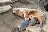 Galapagos sea lion, Zalophus wollebaeki, Puerto Egas, Santiago Island, Galapagos Islands, Ecuador.