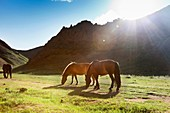 The sun falls off a mountain in the Gobi desert and the last rays of light illuminate the horses.