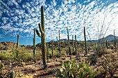 Majestic Saguaro cactus sentinals tower above the colorful Sonoran desert landscape beneath a canopy of white clouds.