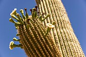 Close up reveals how saguaro cactus blossoms burst forth from the pointed cactus spines in spring in the Sonoran desert.