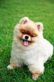 Hawaii, Oahu, Close Up Of Young Pomeranian Puppy In Park.