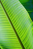Hawaii, Oahu, Detail Of Vibrant Tropical Leaves.