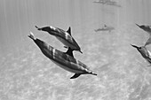 Hawaii, Lanai, Hulopoe Bay, Spinner Dolphins (Stenella Longirostris) Underwater, Black And White Photograph.