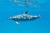 Hawaii, Lanai, Hulopoe Bay, Spinner Dolphin (Stenella Longirostris) Underwater Near Ocean Surface.