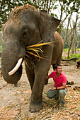 Thailand, Chiang Mai Province, Patara Elepahant Farm, Owner Demonstrating Care Of Elephants.