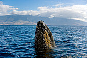 Hawaii, Maui, Humpback Whale (Megaptera Novaeangliae) Off Coastline, Head Above Surface.