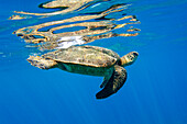 Hawaii, Maui, Makena, Hawaiian Green Sea Turtle Or Honu Underwater