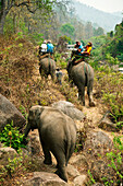 Thailand, Chiang Mai Province, Tourists Riding Elephants Of Mae Tang Tours. For Editorial Use Only.