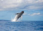 Hawaii, Maui, Humpback Whale Breaching.