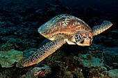 Indonesia, Sulawesi, Green Sea Turtle (Chelonia Mydas) An Endangered Species.