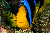 Fiji, This Orange-Fin Anemonefish (Amphiprion Chrysopterus) Is Pictured Over It's Host Anemone.