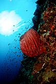 Indonesia, Sulawesi, Barrel Sponge, Underwater Scene.