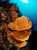 Indonesia, Sulawesi, Sea Fan Coral, Underwater Scene.