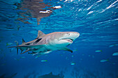 'Lemon shark (Negaprion, brevirostris) underwater with remoras; Grand Bahamas'