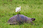 Ecuador, Galapagos Archipelago, Santa Cruz Island, A Cattle Egret, Bubulcus Ibis, Flaps Feathers While Standing On The Back Of A Galapagos Giant Tortoise, Geochelone Elephantopus
