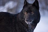 Alaska, Inside Passage, Adult Male, Black Wolf In Snow.
