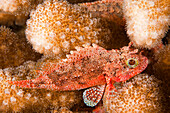 Hawaii, Maui, The Galactic Scorpionfish (Sebastapistes Galactacma) Is 3 Inches Long As An Adult.