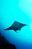Micronesia, Yap, Manta Ray (Manta Birostris) View From Below