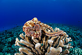 Hawaii, Day Octopus (Octopus Cyanea) Laying On A Bed Of Coral