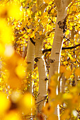 California, Eastern Sierras, Beautiful Aspen Trees Displaying Vibrant Fall Colors