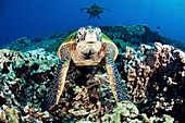 Hawaii, Maui, Several Green Sea Turtles (Chelonia Mydas) Gather At A Cleaning Station On The Reef