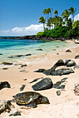 Hawaii, Oahu, North Shore, Laniakea Beach, Green Sea Turtle (Chelonia Mydas) Resting On Sandy Shore.
