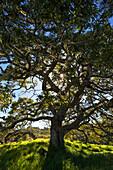 Hawaii, Big Island, Hakalau Wildlife Refuge, Koa Tree And Sunlight.