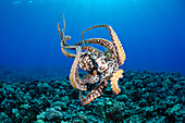 Hawaii, Maui, Female Octopus (Cephalopod) Swims Freely Underwater.