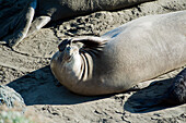 California, San Simeon, Elelphant Seals (Piedras Blancas) Warm Up On Beach, One Makes A Funny Face.