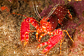 Hawaiian Or Western Lobster (Enoplometopus Occidentalis) On The Ocean Floor.