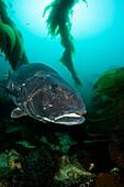 California, Catalina Island, Giant Black Sea Bass (Stereolepis Gigas).