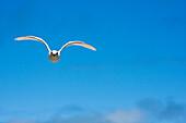 Fiji, Black-Naped Tern, Sterna Sumatrana.