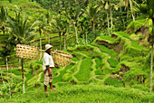 Indonesia, Bali, Rice Paddies, Worker Carrying Shoulder Baskets.