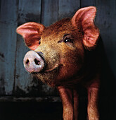 'Fl6495, Brian Summers; Smiling Pig'