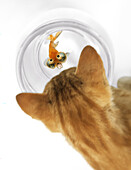 Cat Peering Into Fishbowl With Celestine Goldfish Looking Up With Expression Of Fear