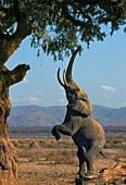 African Elephant Reaching For Food, Mana Pools National Park, Zimbabwe.