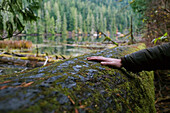 Man's Hand Touching A Fallen Mossy Tree, Cathedral Grove, Macmillan Provincial Park, Vancouver Island, British Columbia