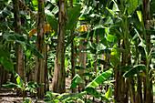Banana Trees, Florida, Usa
