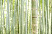 Bamboo In Forest At Fushimi Inari Shrine, Kyoto, Japan