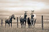 Artist's Choice: Quarter Horses On Canadian Prairie, Big Muddy Badlands, Saskatchewan