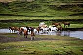 Wild Horses Crossing River, Hacienda Yanahurco, Napo Province, Ecuador